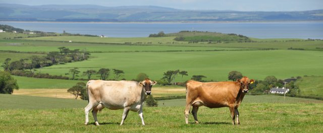 Jersey cows at Kirkbride Holiday Cottages, Galloway