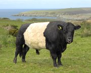 Galloway Beltie at Kirkbride